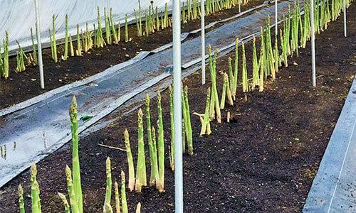 北海道産のアスパラを通販するなら人気の【farm HIOKI[日置農園]】